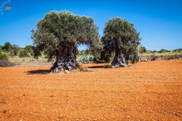 Оливковые деревья на Ибице